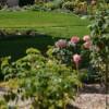 massif de rosiers en premier plan, plantes vivaces en fond