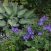 mélange et association de geranium et hosta